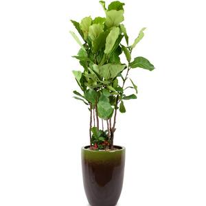 떡갈나무 대품(인터파크)