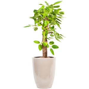 뱅갈고무나무(인터파크)