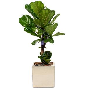 떡갈나무 탁상용