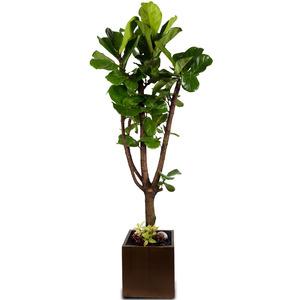 떡갈고무나무 (사각시멘트)